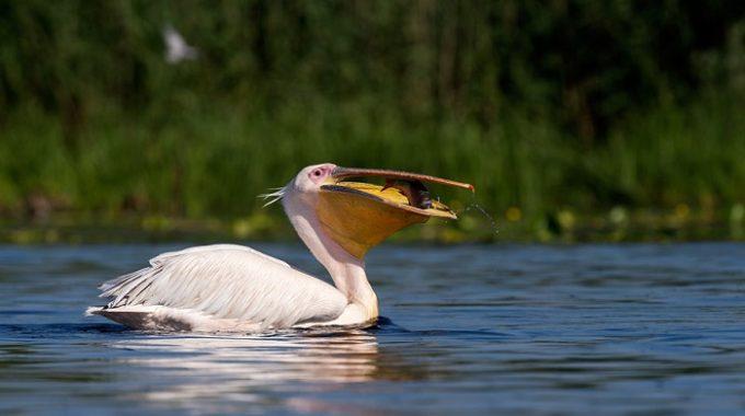 Jurnalistii romani inghit ca pelicanii